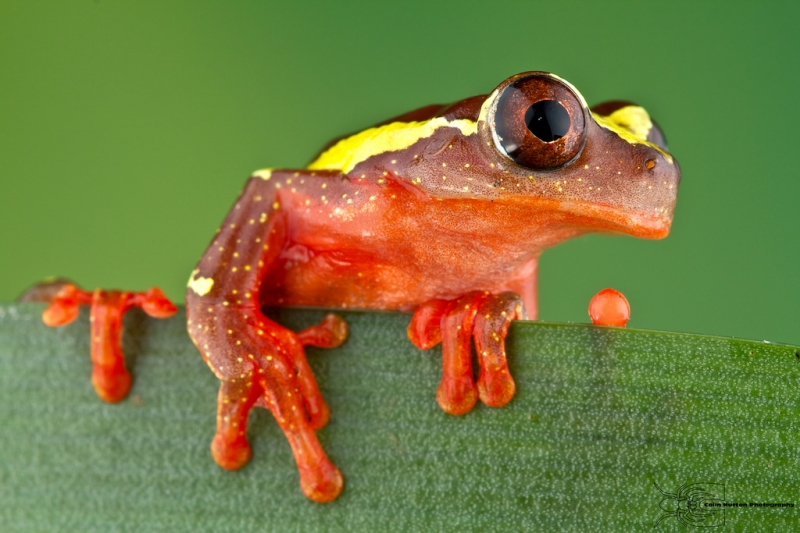 Ếch chú hề – The Clown Tree Frog