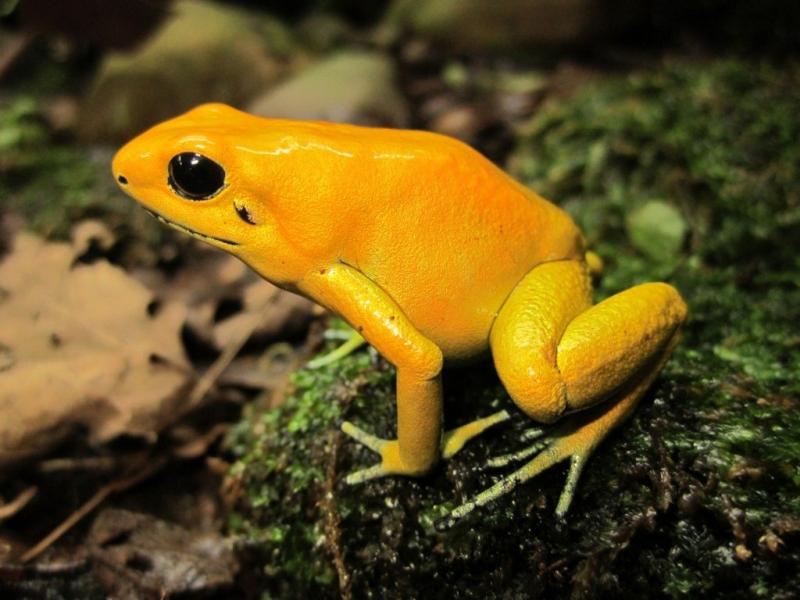 Ếch độc phi tiêu vàng là loài động vật có nọc độc mạnh nhất hành tinh.