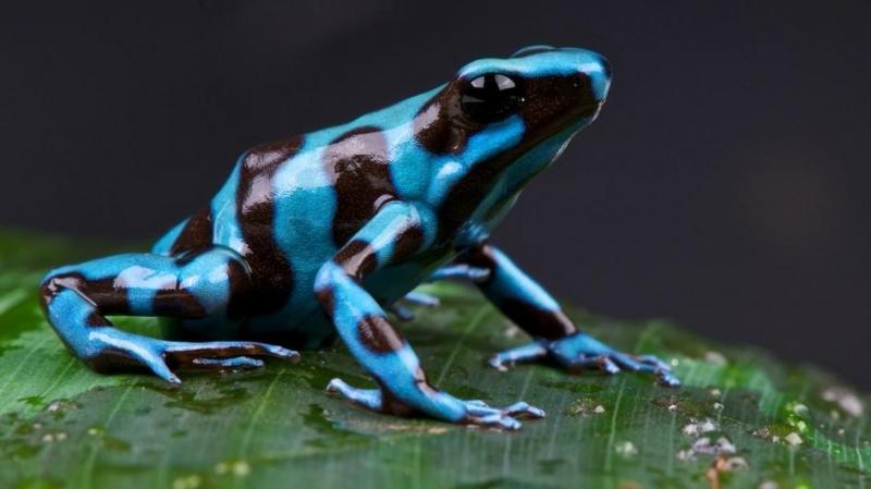 Ếch phi tiêu độc – The Poison Dart Frog