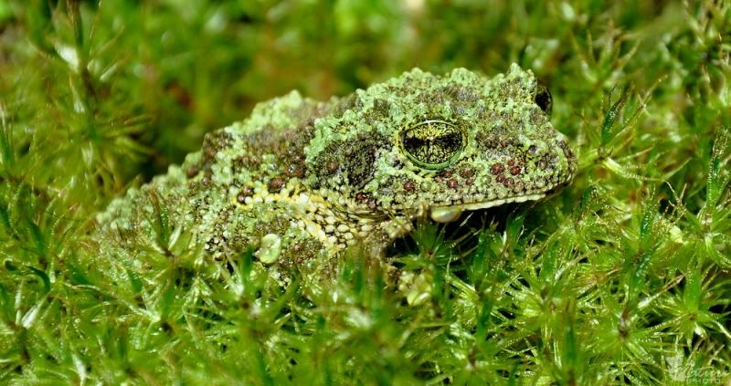 Ếch Rêu Việt Nam – The Vietnamese Mossy Frog
