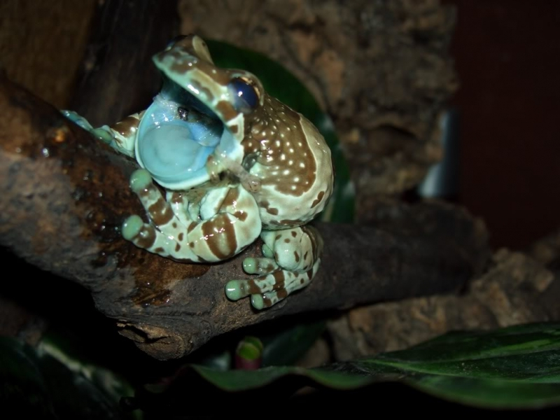 Ếch sữa Amazon – The Amazon Blue Milk Frog