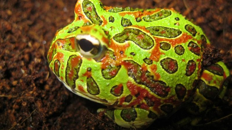 Ếch sừng Argentina – The Argentine Horned Frog