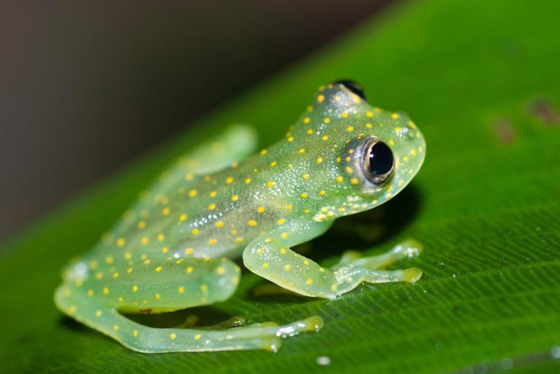 Ếch Thủy Tinh – The Fleischmann's Glass Frog