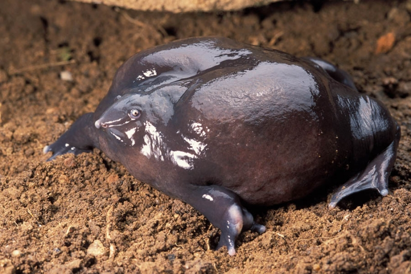 Ếch Tía – The Purple Frog