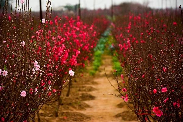Vườn Hoa Đào Nhật Tân