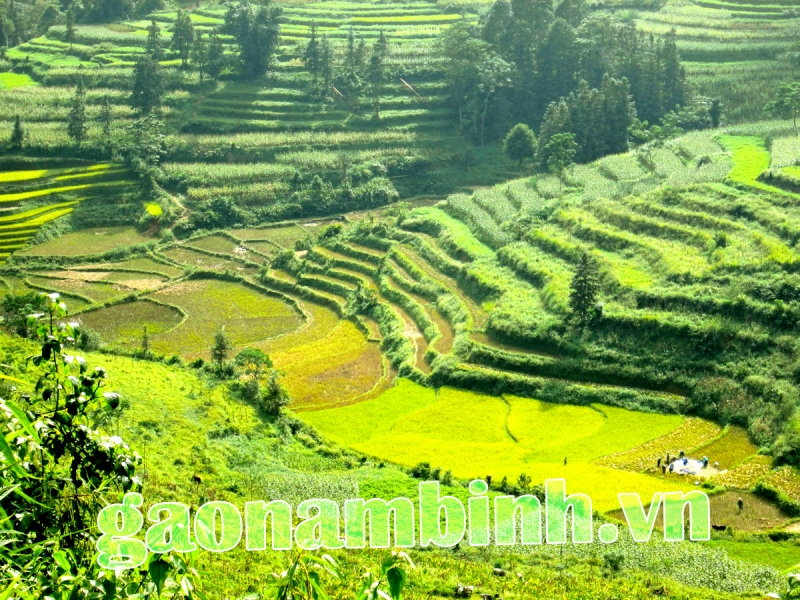 Ruông bậc thang Tây Bắc trồng lúa Phadin