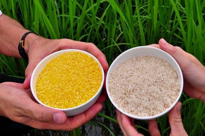 Gạo vàng tổng hợp vitamin A tốt hơn so với gạo thông thường (Nguồn: kinhtenongthon.com.vn)
