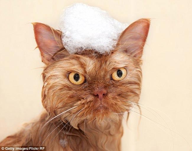Chú mèo này khi tắm trông rất đáng thương