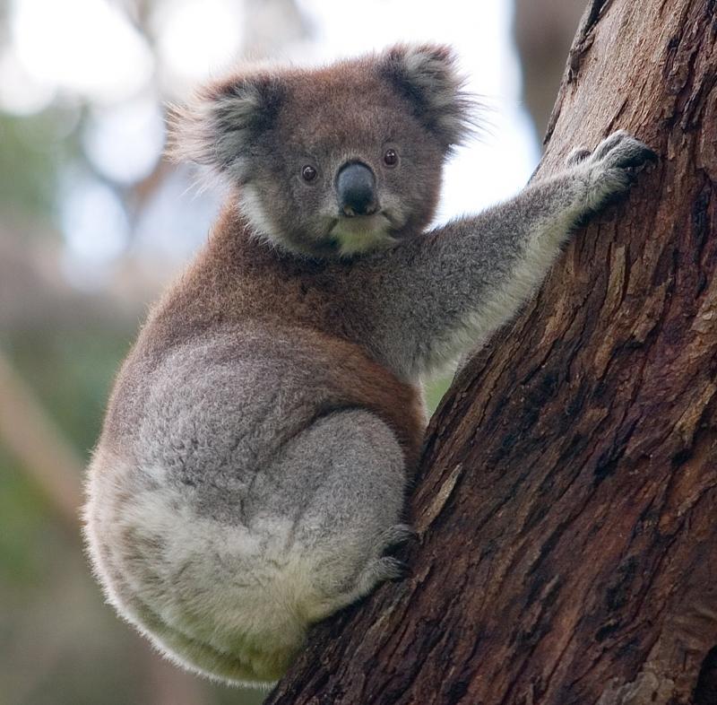Gấu Koala có khuông mặt.vô cùng ngây thơ, hồn nhiên