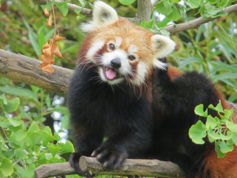 Một khoảnh khắc tự nhiên nhưng vô cùng đáng yêu của gấu trúc đỏ