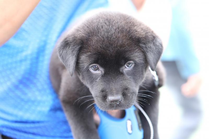 Giá H'Mông cộc tương đối cao so với các giống chó khác của Việt Nam