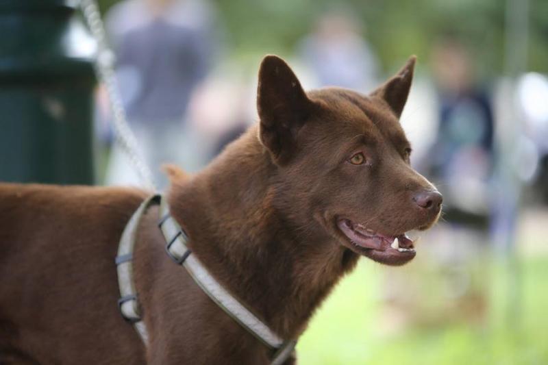 Hiện nhiều đàn chó H'Mông cộc đang được phát triển một cách chuyên nghiệp từ những con giống tốt