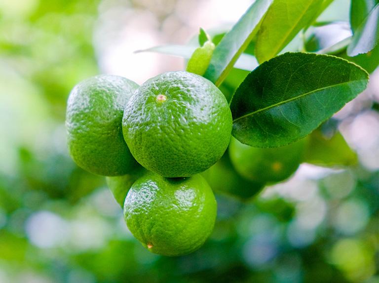 chanh cũng là một loại quả có nhiều tác dụng chữa bệnh trong Đông y