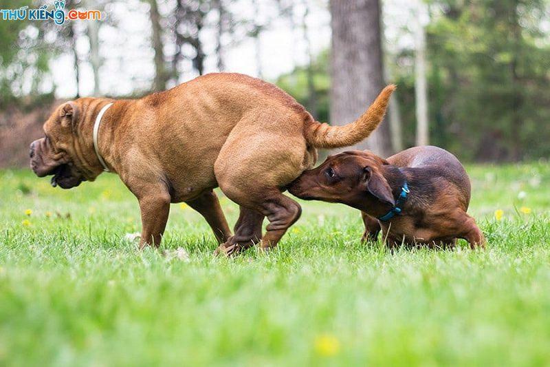 Dấu hiệu động dục ở chó