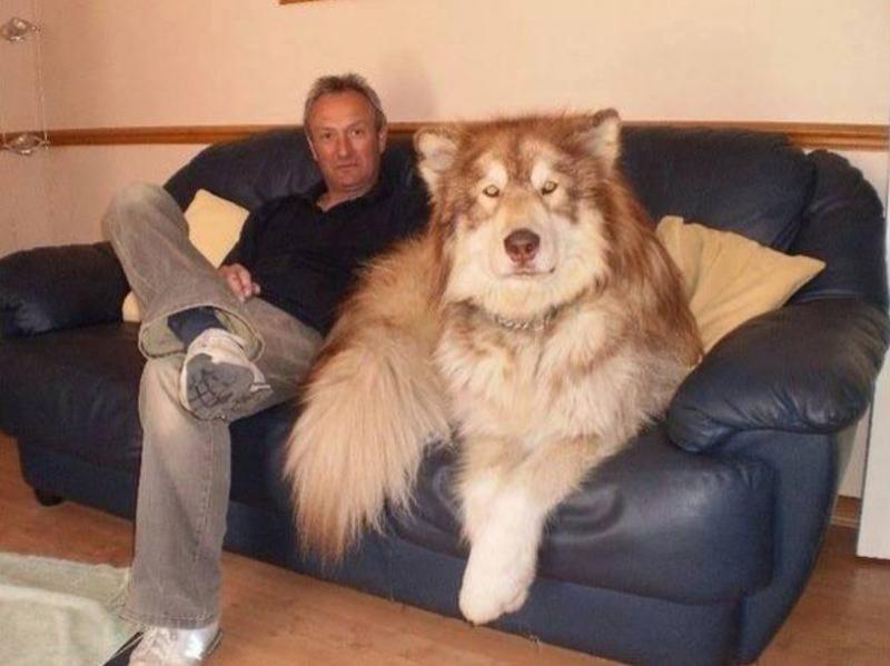 Một chú Alaskan Malamute khổng lồ cùng người chủ của chú