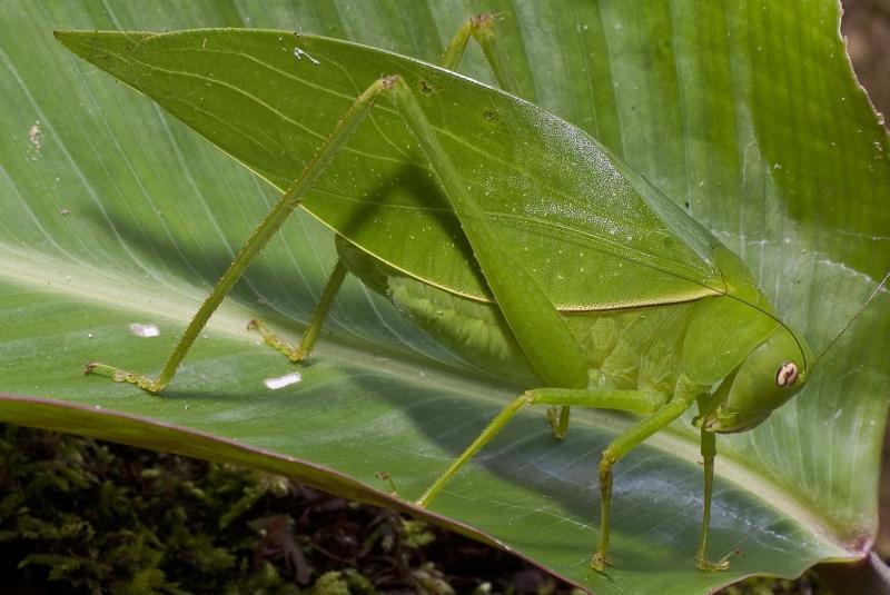 Giant Long-Legged Katydids