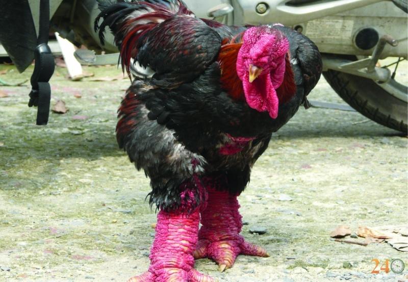 Giống gà độc lạ
