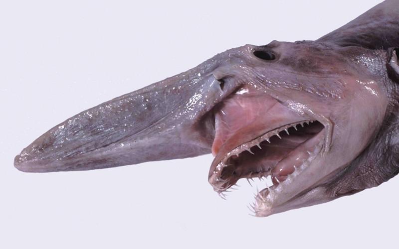 Đầu cá Goblin Shark