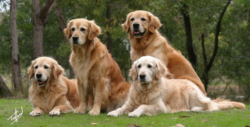 Golden (Golden Retriever) - một trong những loài chó cảnh thông minh nhất thế giới
