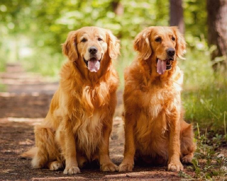 Golden Retriever là mọt giống chó khỏe mạnh