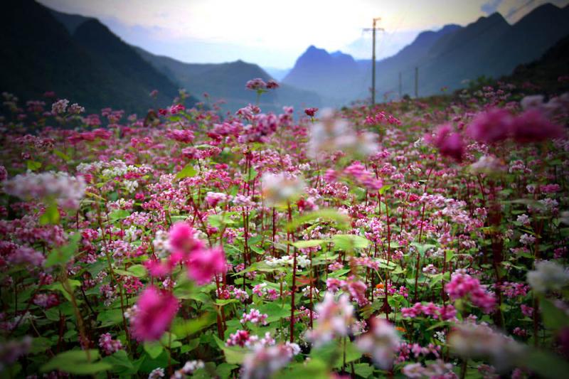 Hà Giang mùa hoa tam giác mạch đẹp vô cùng