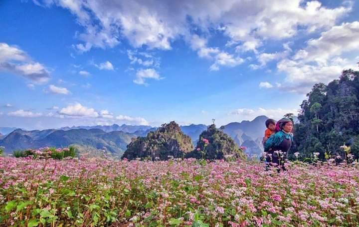 Hoa tam giác mạch thừơng mọc thành các cánh đồng lớn ven đường, thung lũng thậm chí len lỏi trên những vách đá lởm chởm