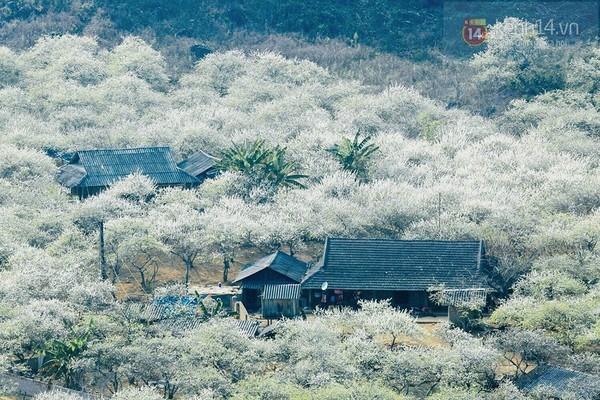 Mộc Châu nở trắng hoa ban