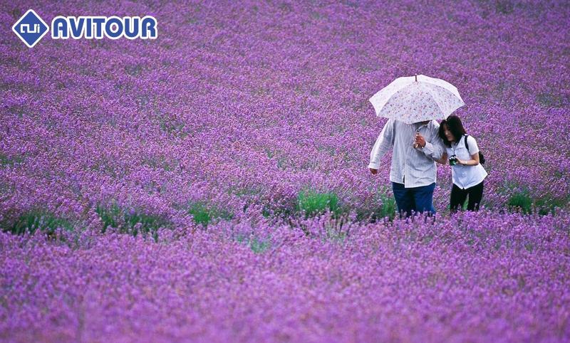 Cảnh du khách tham quan lễ hội hoa oải hương tại Hàn Quốc