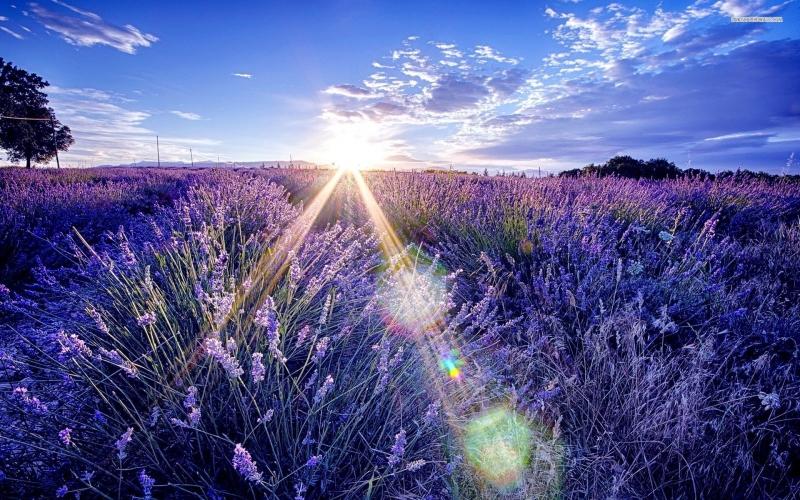 Ánh nắng vàng như rót mật cùng với sắc tím ngát trời như thiên đường nơi hạ giới