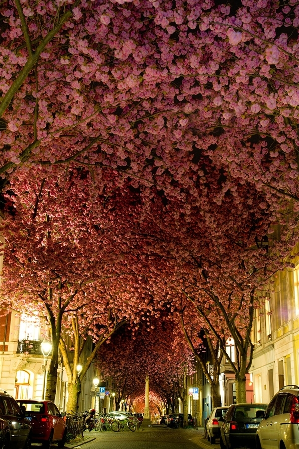 Hàng cây hoa anh đào tại Đức