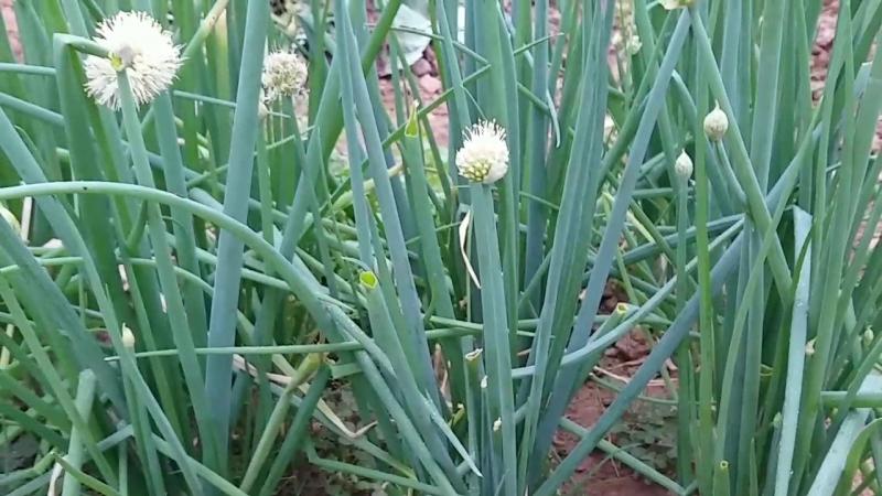 Hành hoa có tác dụng tốt trong việc điều trị vảy nến