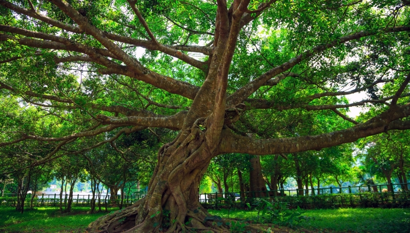 Cây chò nghìn năm tuổi ở rừng Cúc Phương