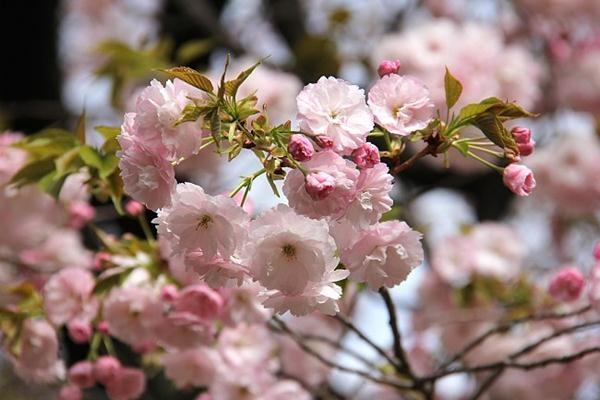 Hoa anh đào Ichiyo