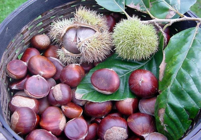 Trùng Khánh của Cao Bằng nổi tiếng cả nước với món hạt dẻ