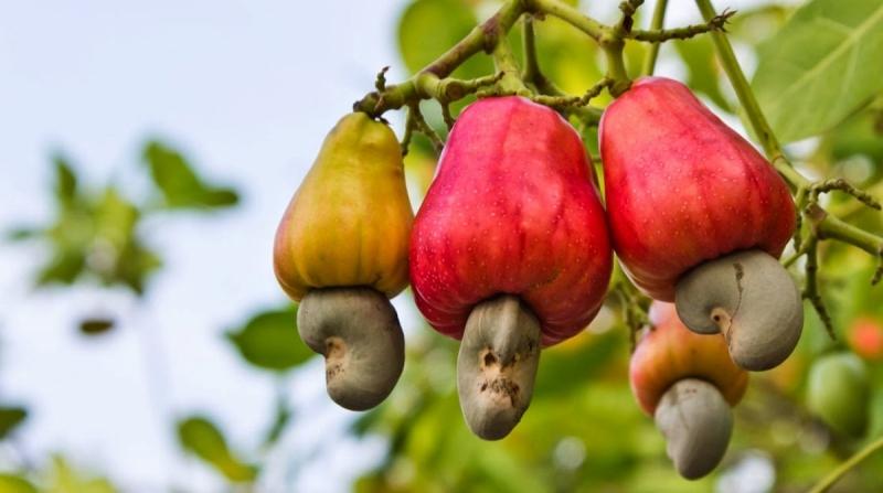 Theo đông y, hạt điều có vị ngọt, bùi, tính ấm, tác dụng bổ dưỡng, làm dịu, trừ đàm