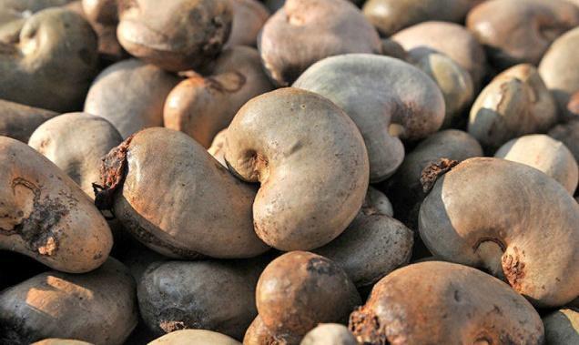 Không nên ăn hạt điều thô nguyên vỏ