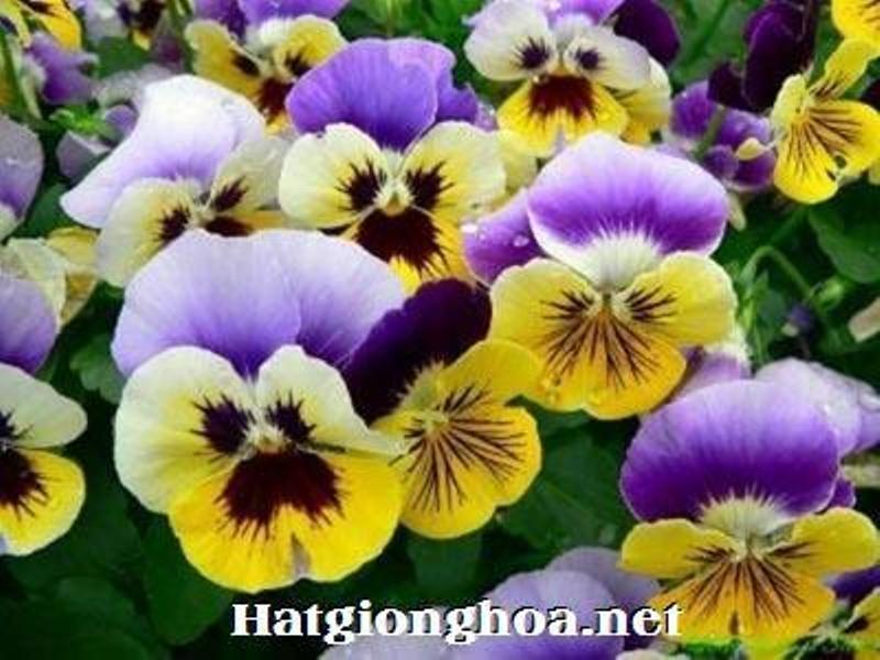 Hạt giống hoa Viola có tại Sunmart