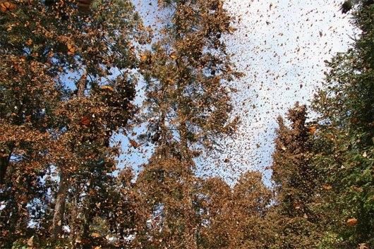 Hiện tượng bướm chúa đi cư