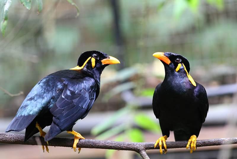 Chim Yểng là một trong số các đại diện của những loài chim biết nói, gây ấn tượng bởi khả năng phát âm chuẩn xác đến bất ngờ