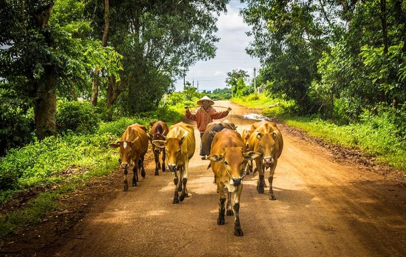 Hình ảnh người nông dân đi chăn bò