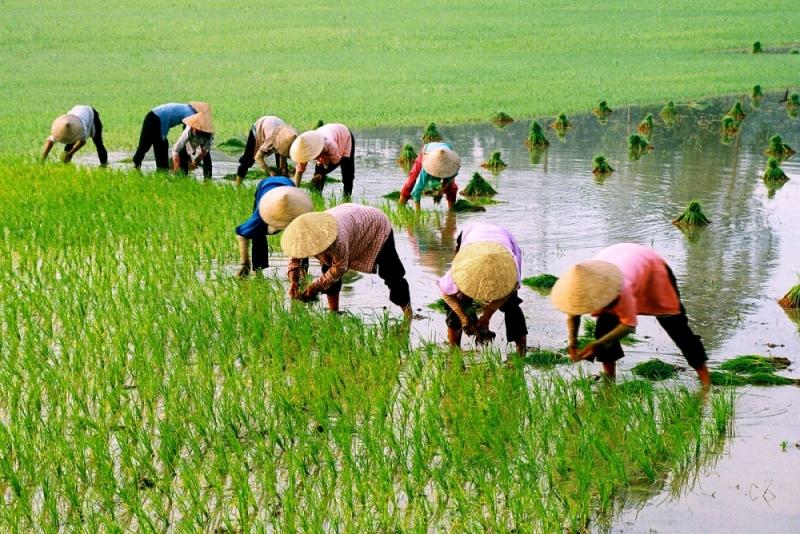 Hình ảnh người nông dân cấy lúa