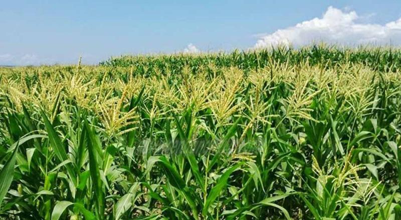 Hình ảnh cánh đồng ngô xanh bát ngát