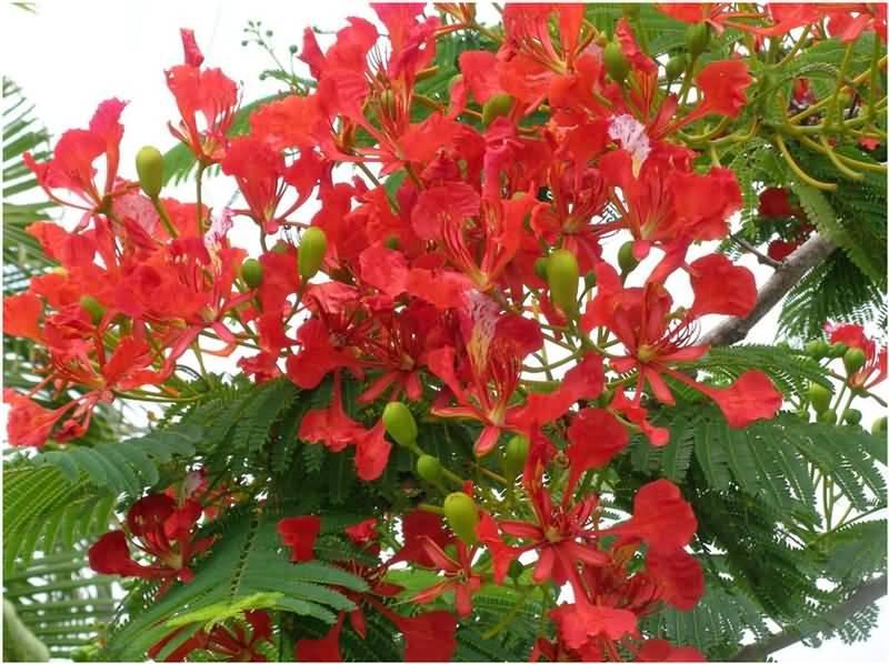 Hình ảnh cây phượng đang vào mùa hoa đã khắc sâu trong tâm trí em
