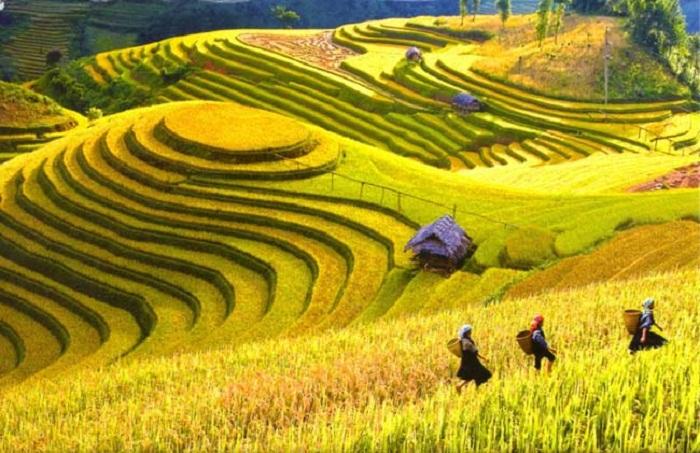 Hình ảnh ruộng bậc thang lúa chín vàng