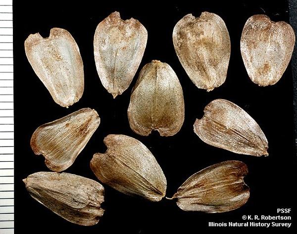 Hạt siphium