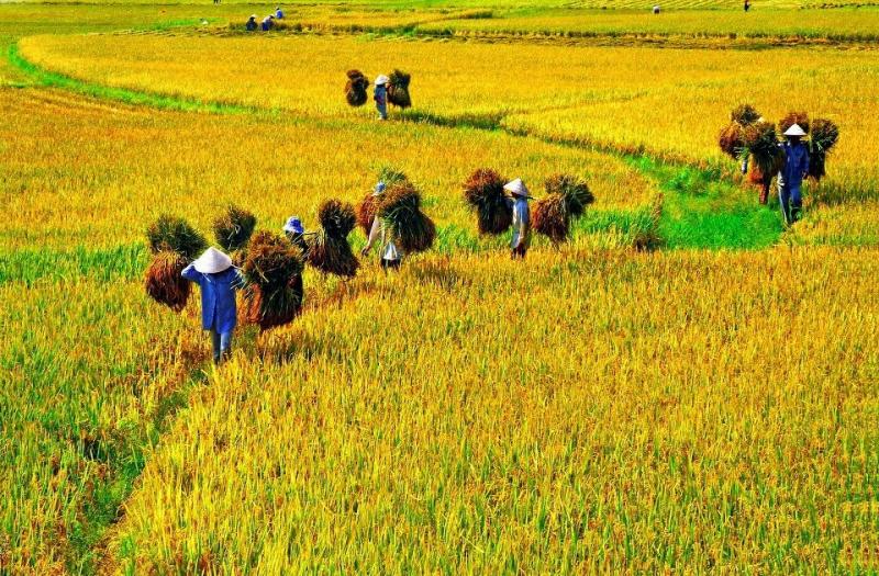 Hình ảnh vào mùa gặt lúa