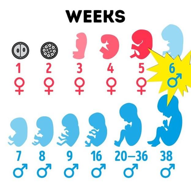 Hình hài 6 tuần đầu thai kì của con trai là con gái