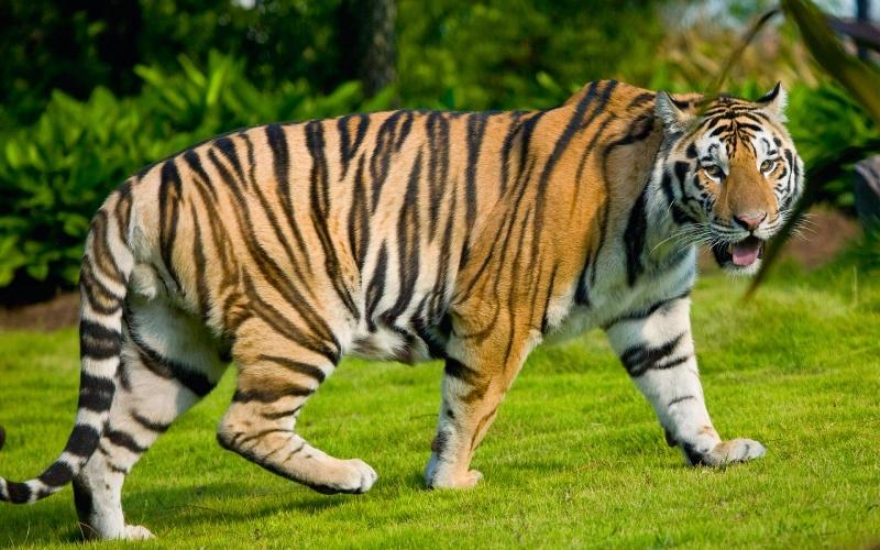 Hổ hoang dã Việt Nam có thể đã biến mất.