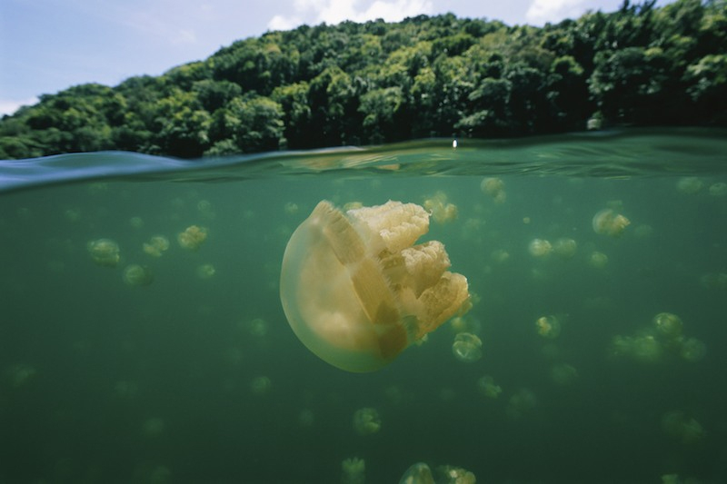 Hồ Jellyfish mệnh danh là ngôi nhà khổng lồ của hàng triệu con sứa