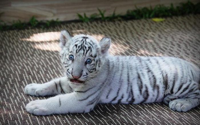 Hổ trắng Kenny